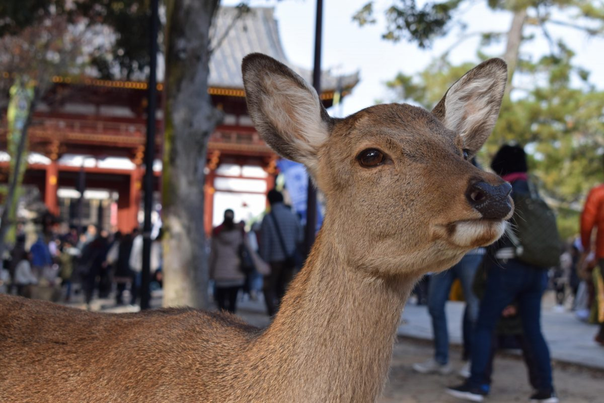 Japan Nara Dee SBJ
