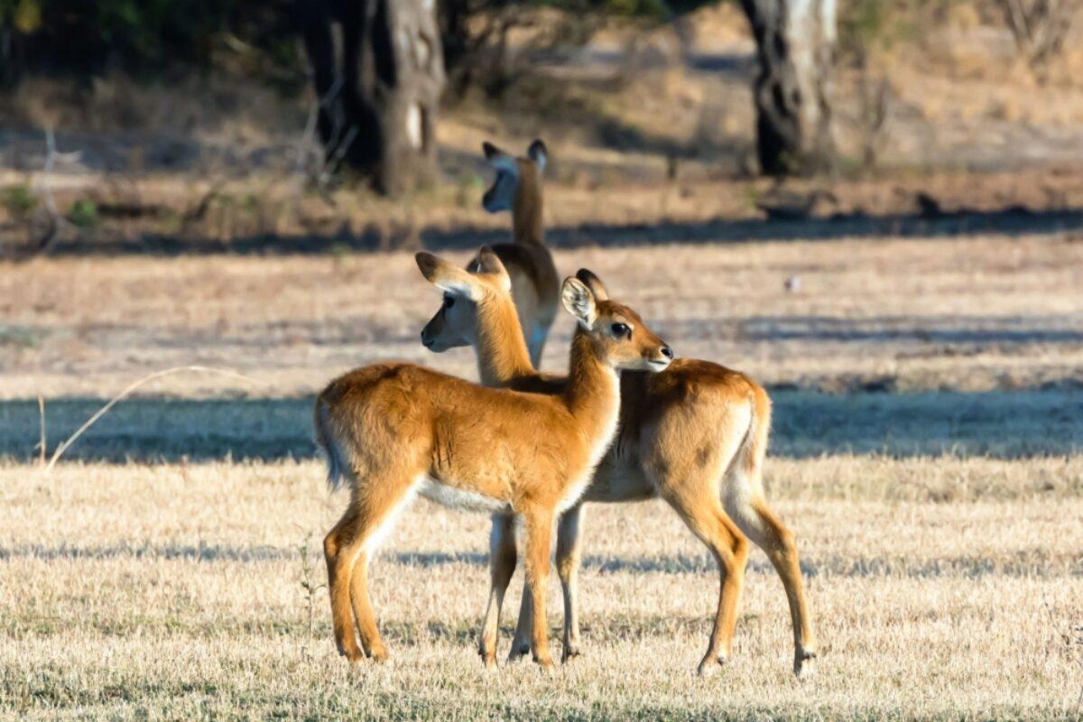 Kafue National Park Puku calves