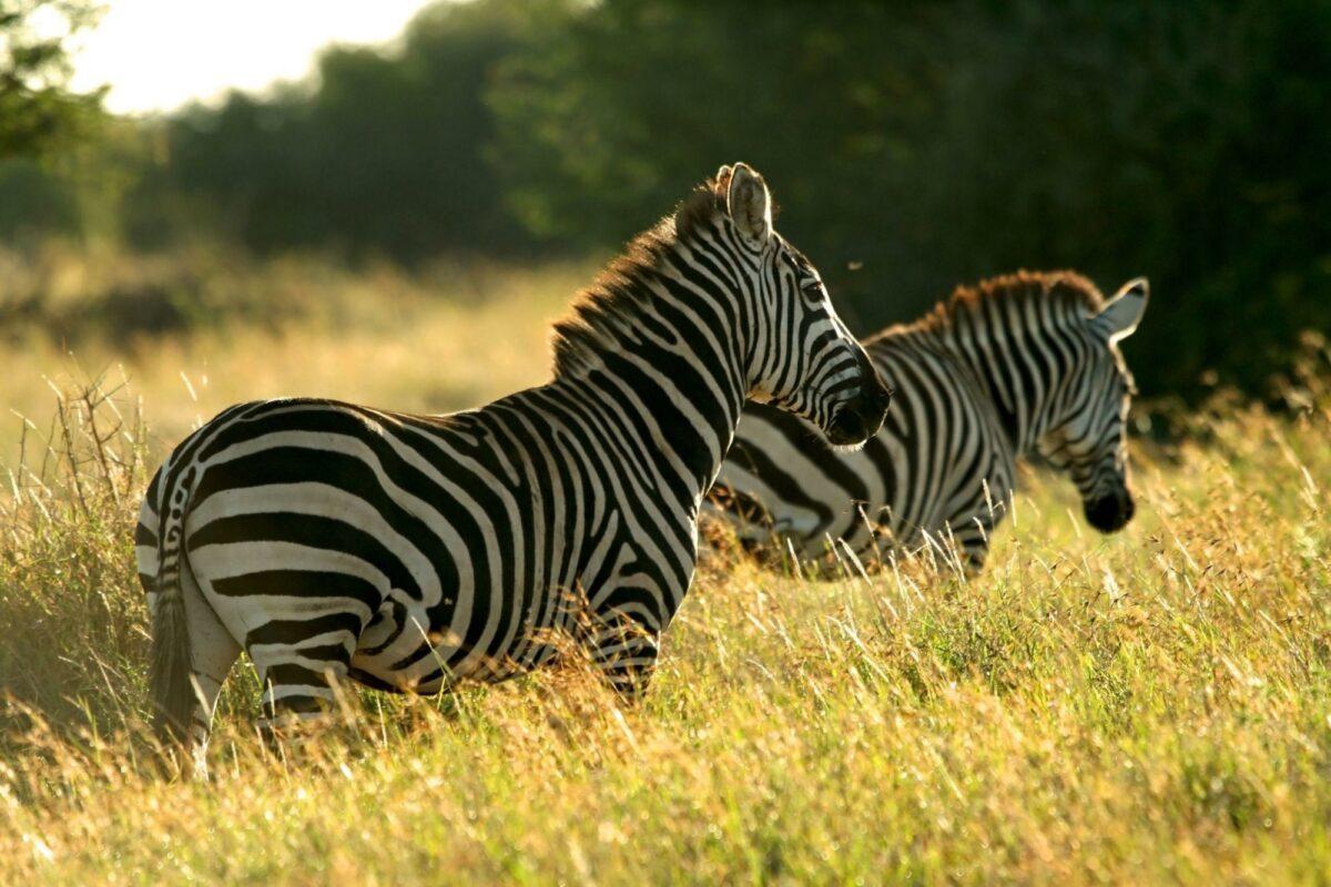 Kenya Laikipia mpala research centre zebra