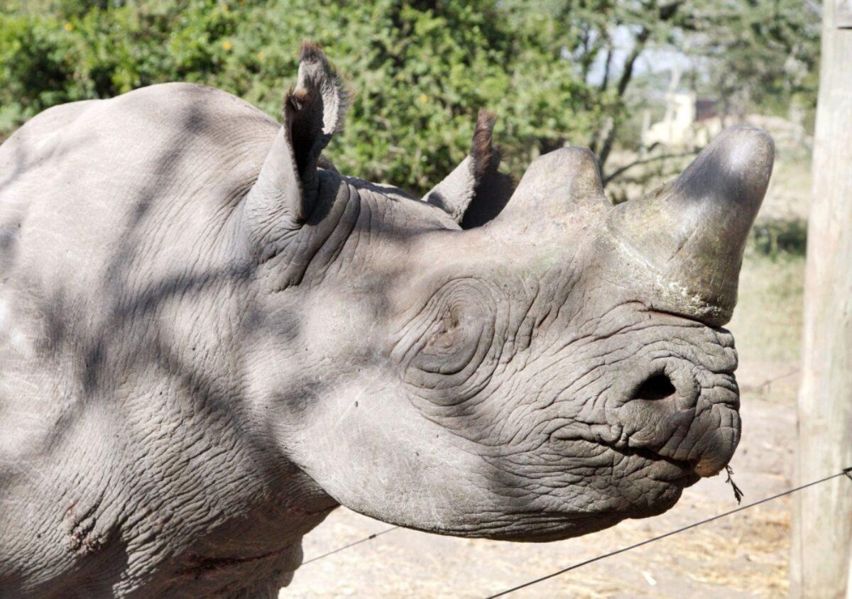 Kenya Ol Pejeta rhinos2