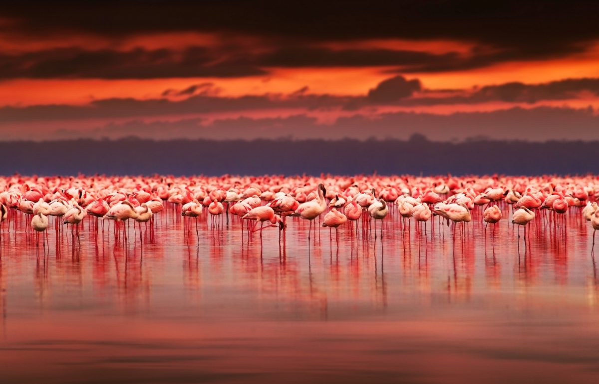 Kenya_flamingo