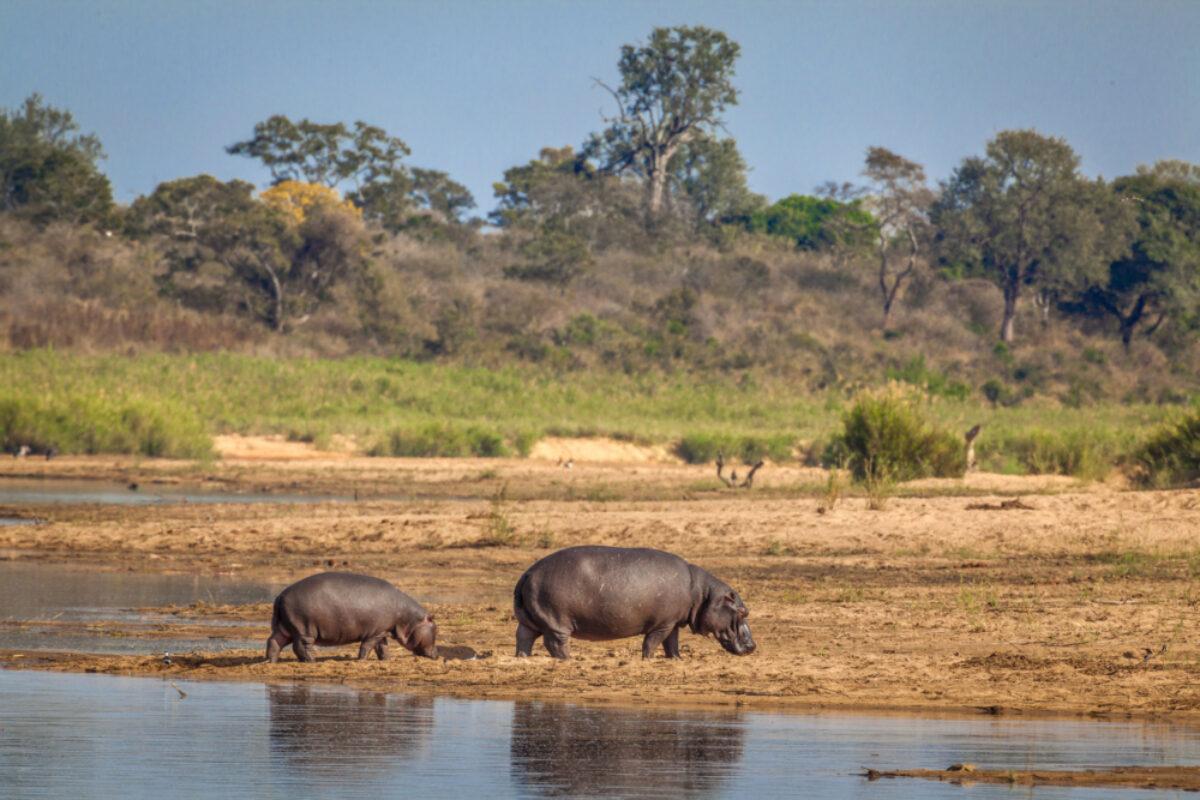 Kruger National Park South Africa hippo