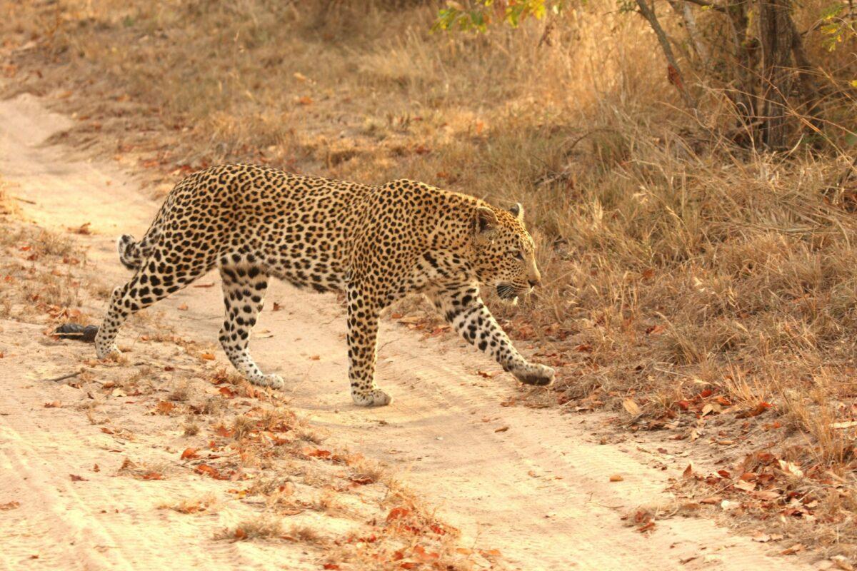 Leopard in the Sabi Sands Reserve