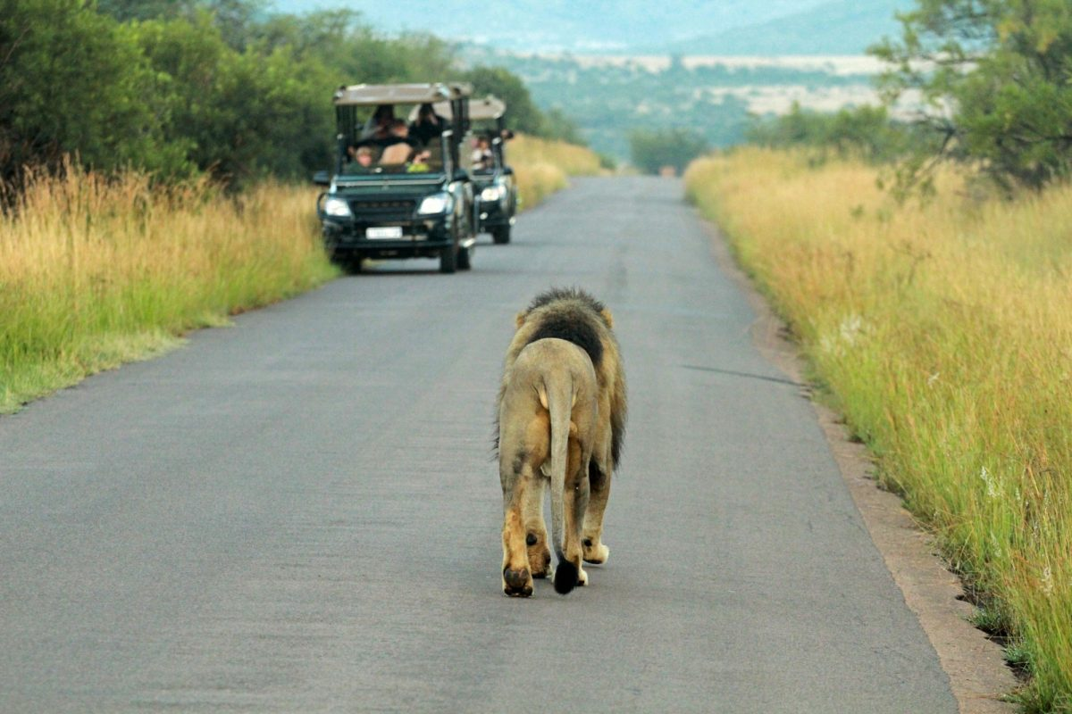 Lion Pilanesberg National Park South Africa