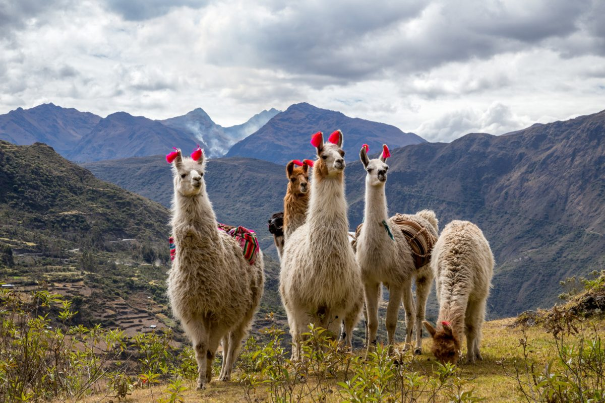 Llamas on the trekking route from Lares in the Andes peru