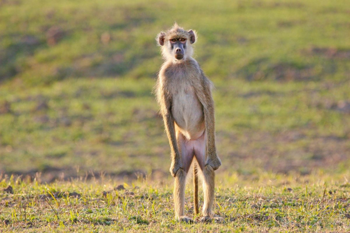 Luangwa Valley Baboon standing guard for his troop