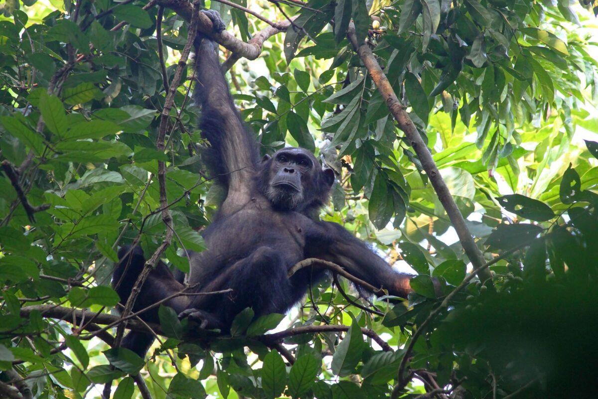 Male chimpanzee Pan troglodytes clinging to a tree in Gombe Stream National Park Tanzania