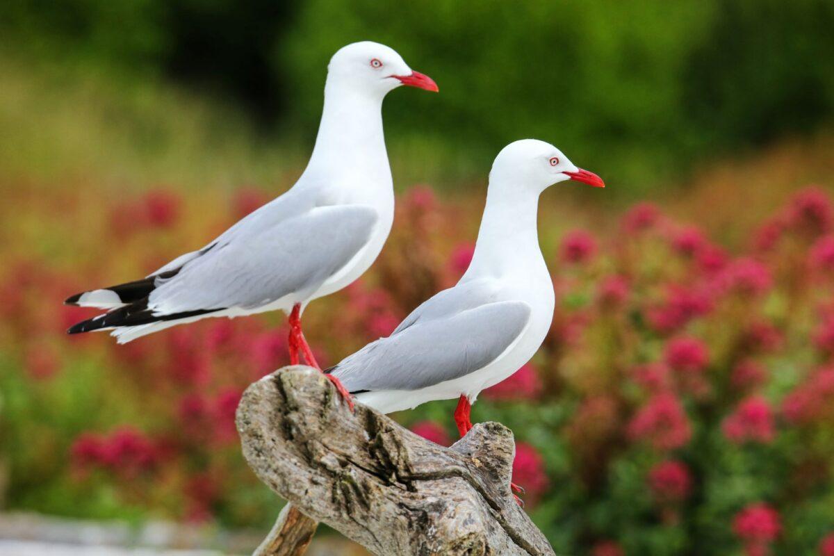 NZ Kaikoura Red billed gulls