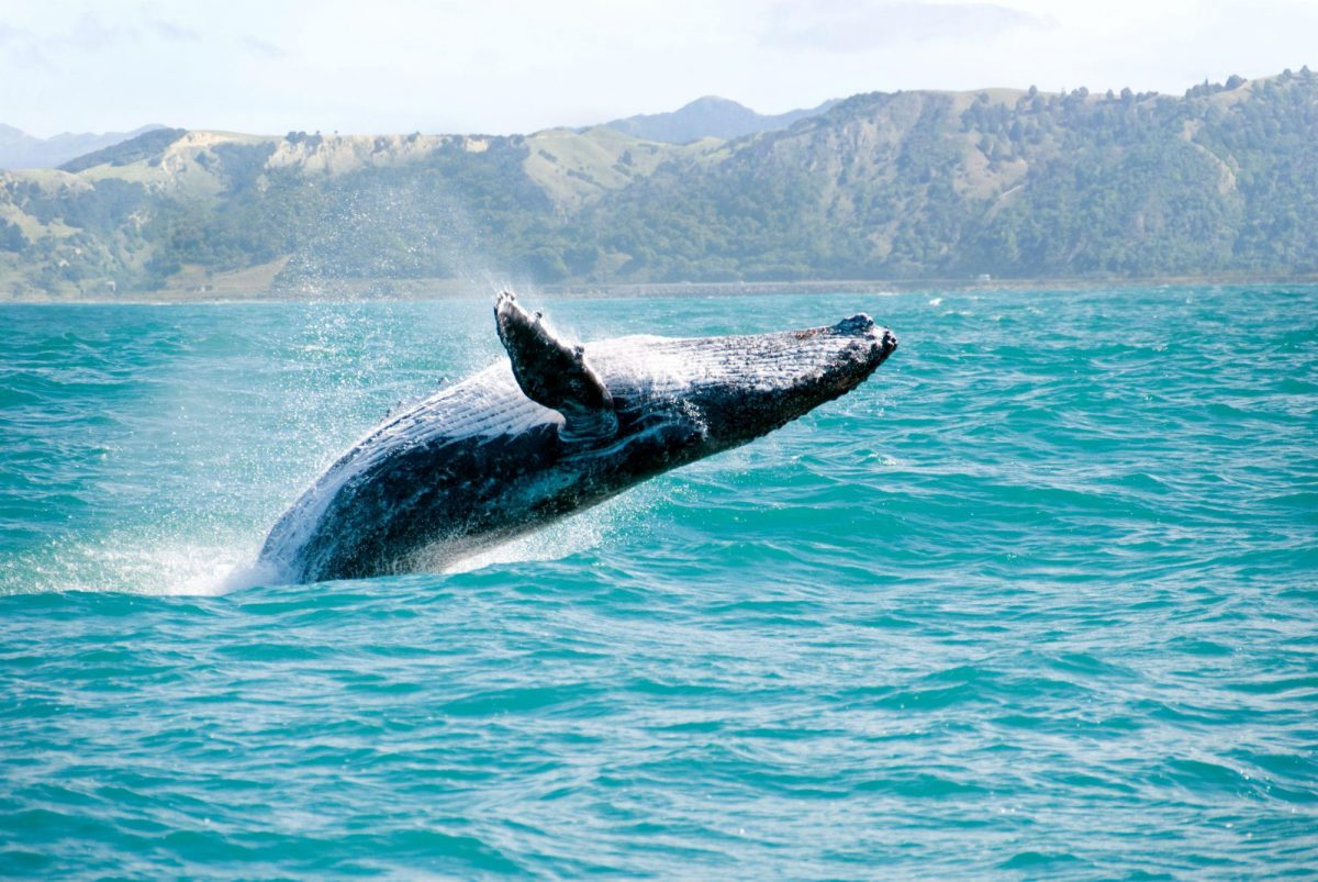 NZ Kaikoura humpback whale