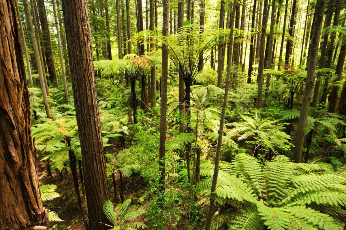 NZ Rotorua Forest of Tree Ferns and Giant Redwoods in Whakarewarewa Forest