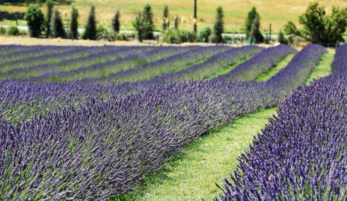 NZ Wanaka Lavenderfarm