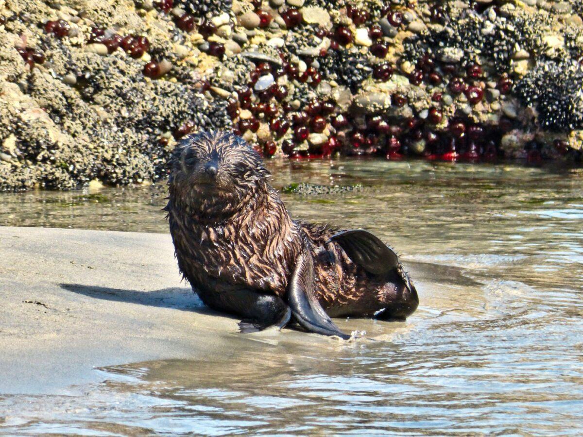 NZ farewell Spit baby seal Wharariki Beach