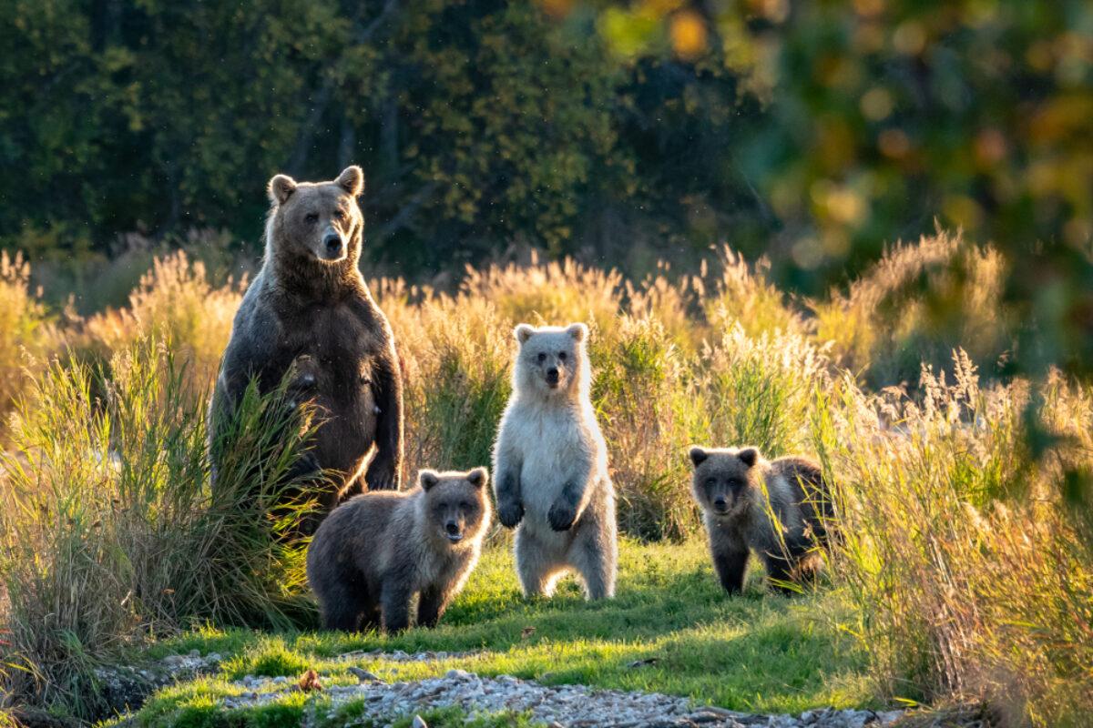Off the beaten path USA Katmai bears
