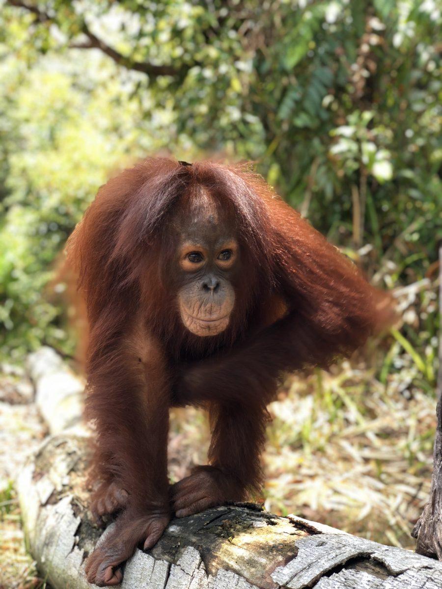Okto-orphaned-orangutan-Nov-2018