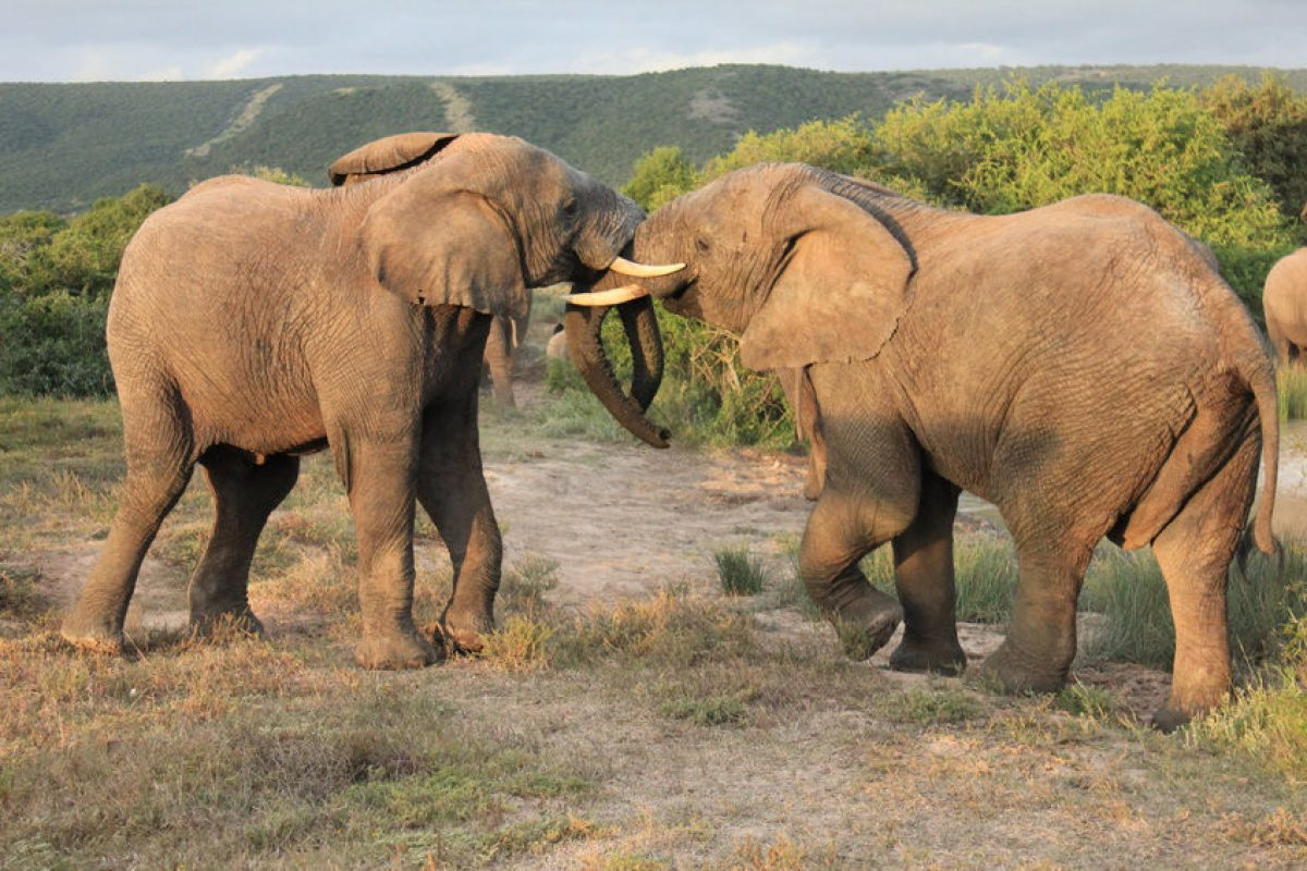 Pair of African Elephants fighting shamwari game reserve south africa