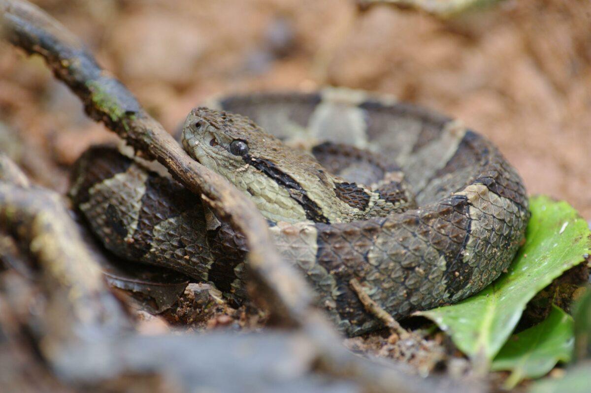 Pit Viper Tenorio Volcano National Park Costa Rica