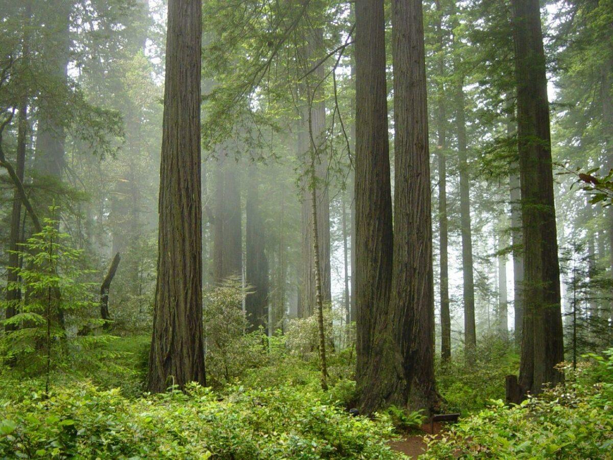 Redwood National Park fog in the forest