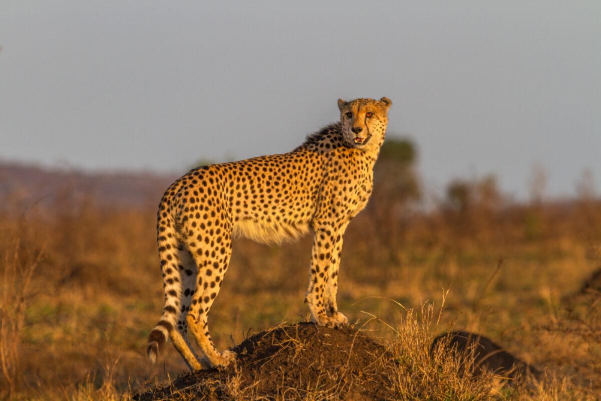 SA_cheetah