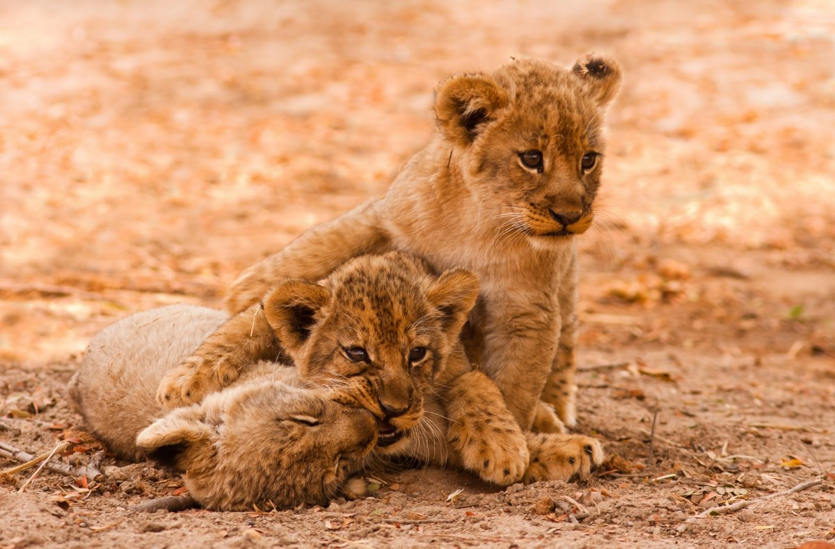 SA_lioncubs