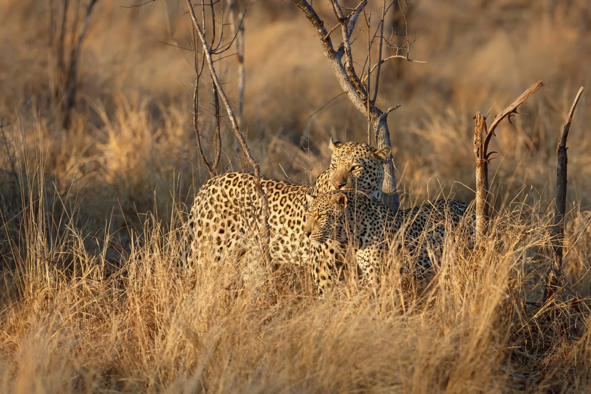 Sabi Sands Game Reserve in the Greater Kruger Region in South Africa