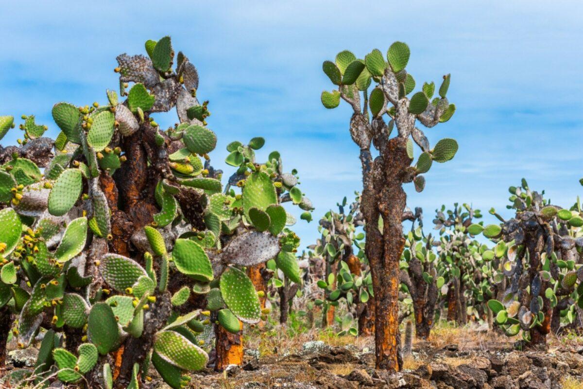 Santa Cruz Port Ayora giantcactus