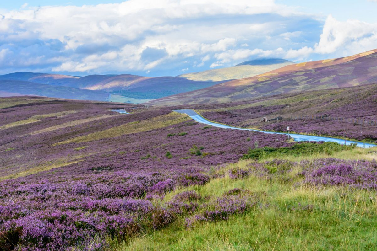 Scotland cairngorms Beautiful native purple heather
