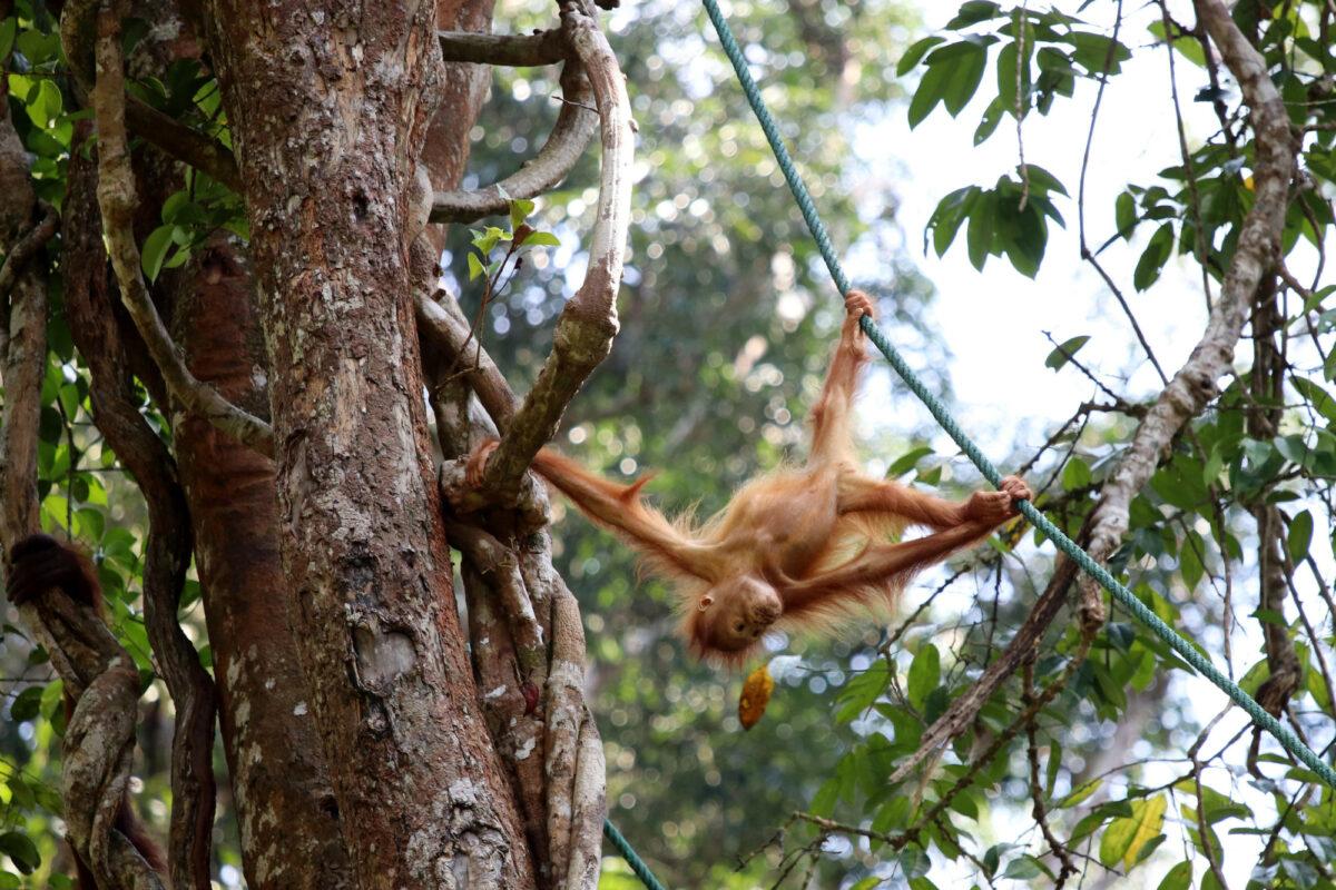 Semenggoh Borneo Malaysia Asia Orangutan