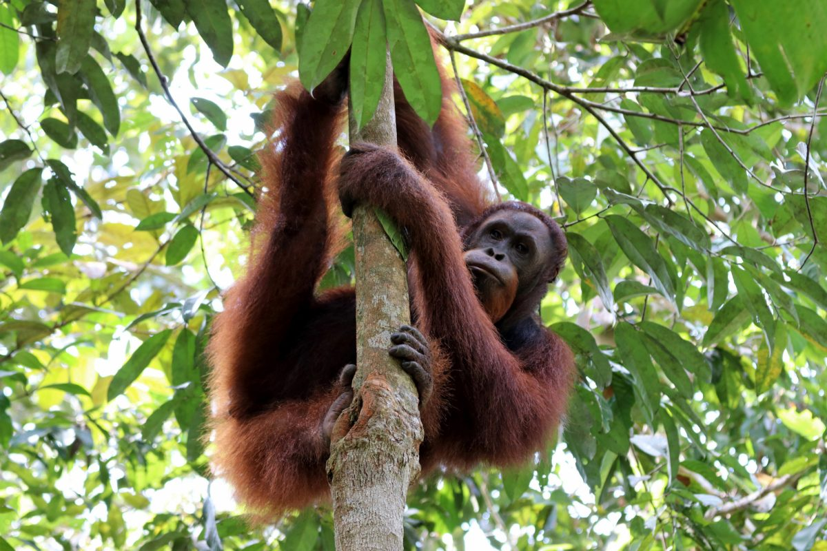 Semenggoh Borneo Malaysia Asia