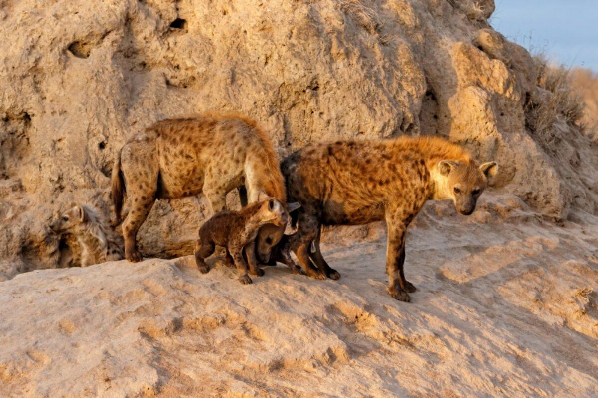 South Africa Sabi Sands Hyena