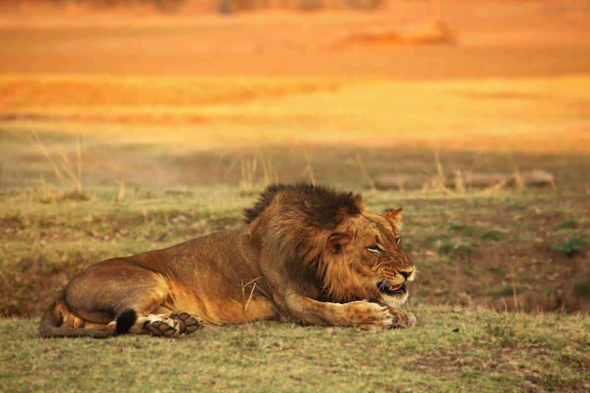 South Luangwa lion