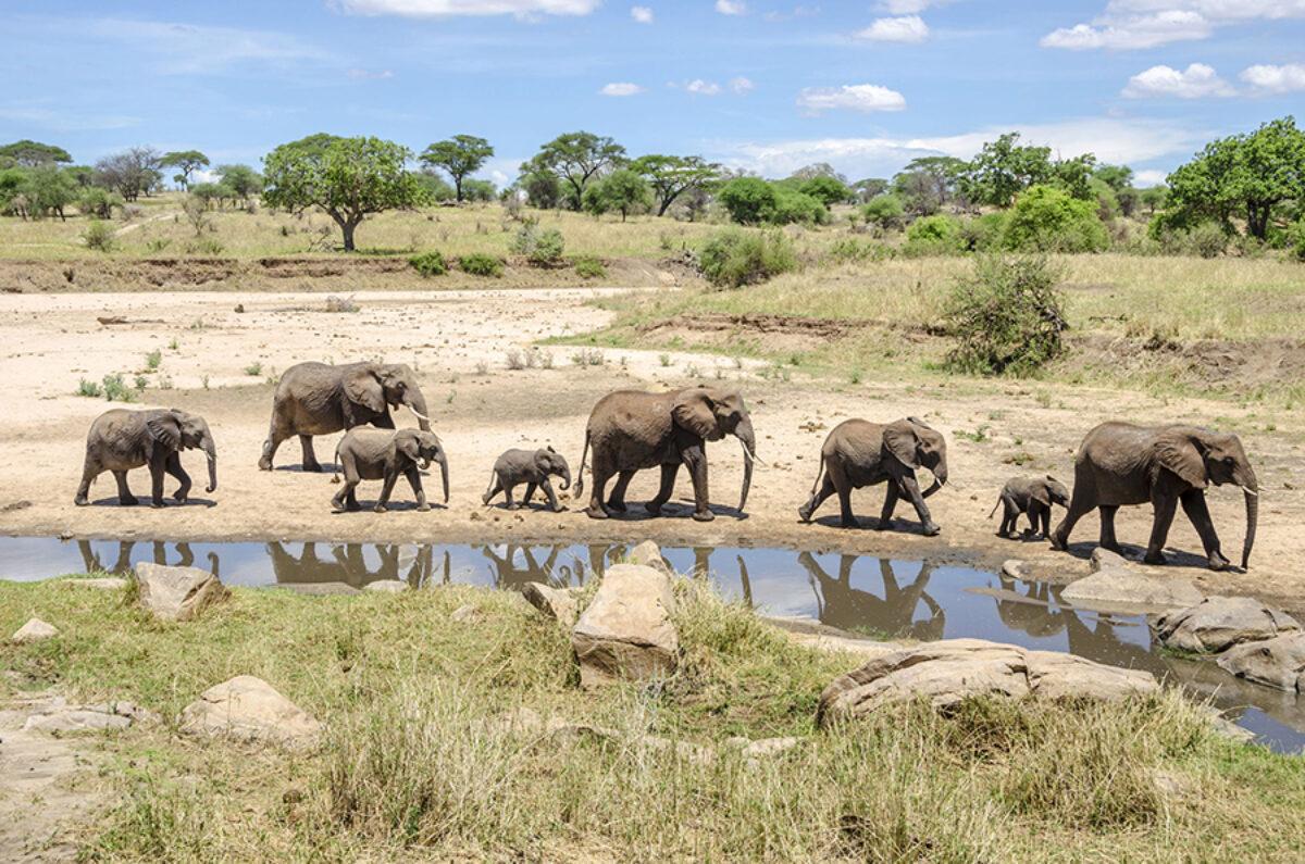 Tanzania Tarangire National Park elephants