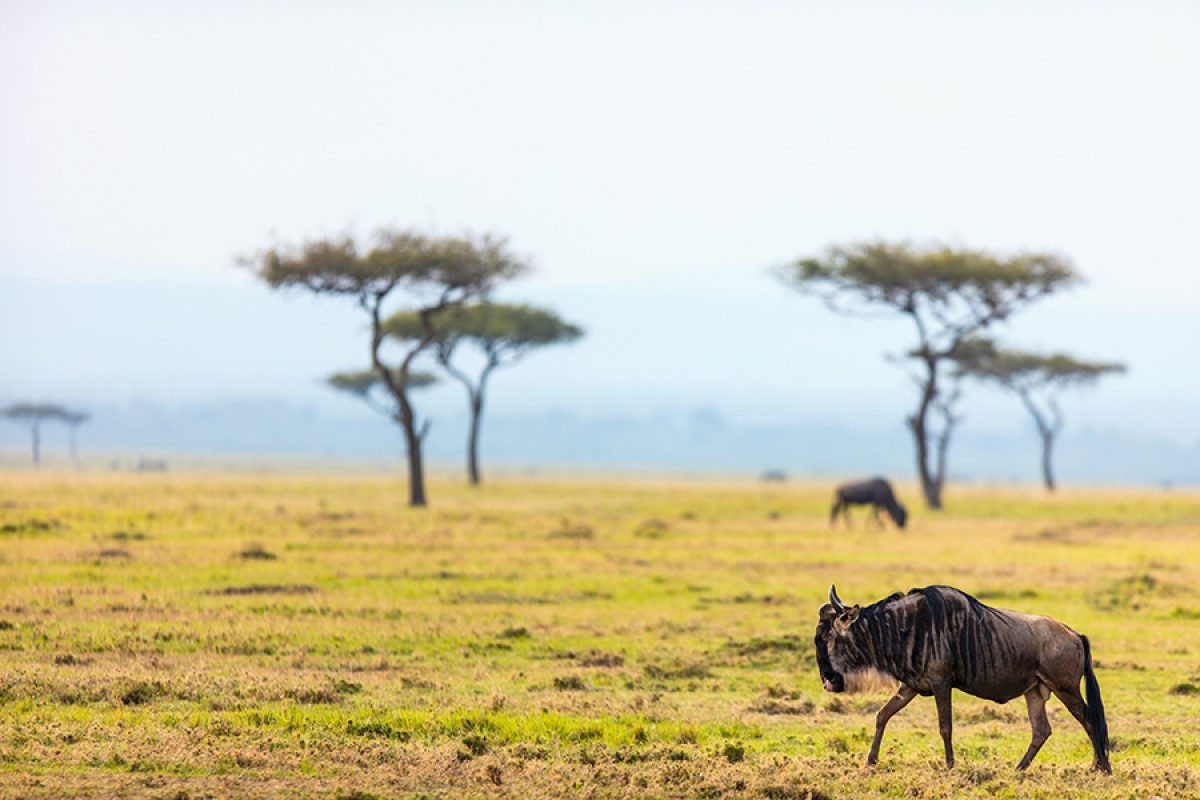 Tanzania solowildebeest