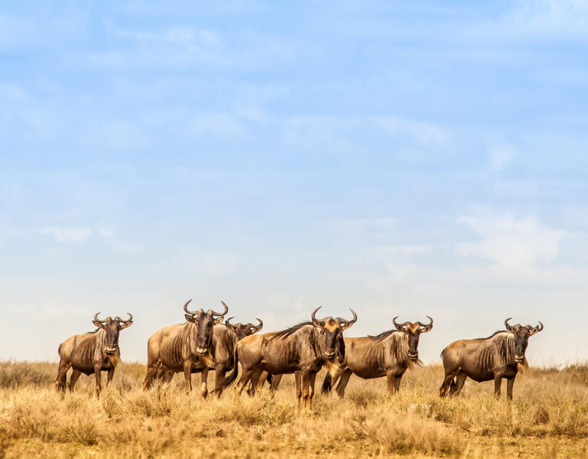 Tanzania_wilderbeastserengeti