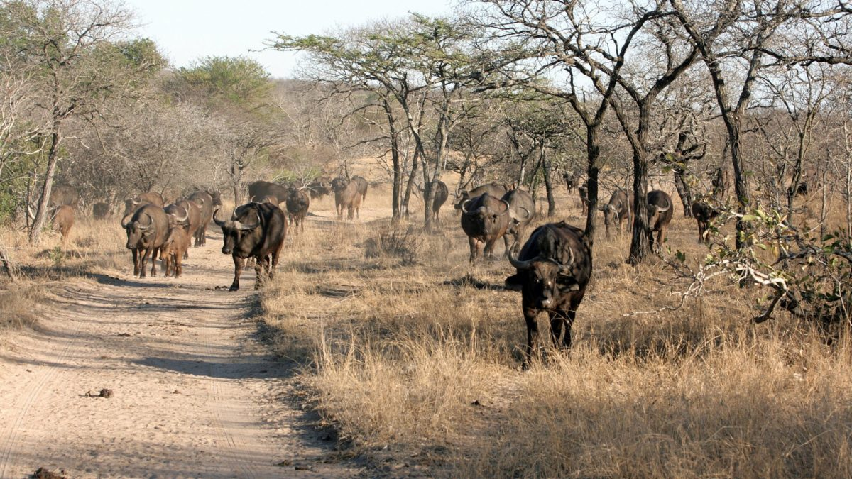 Thornybush Kruger National Park South Africa African Buffalo
