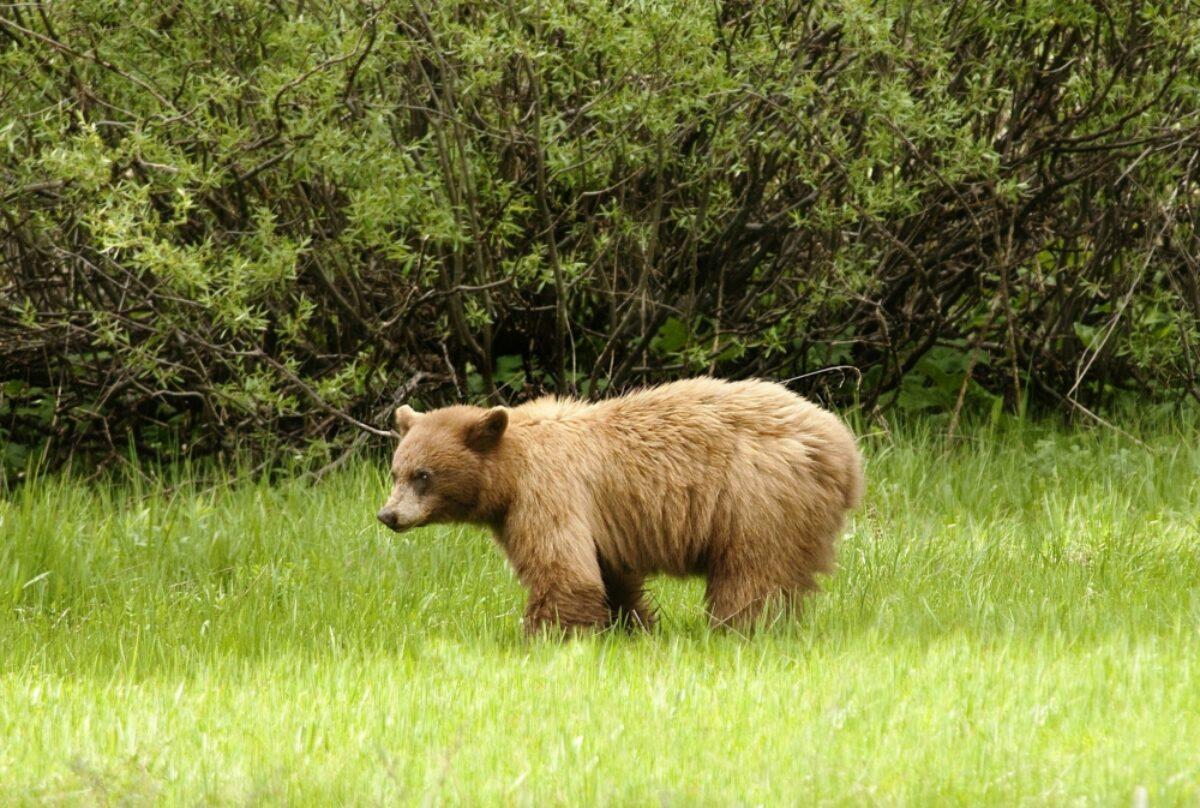 USA yosemite bear