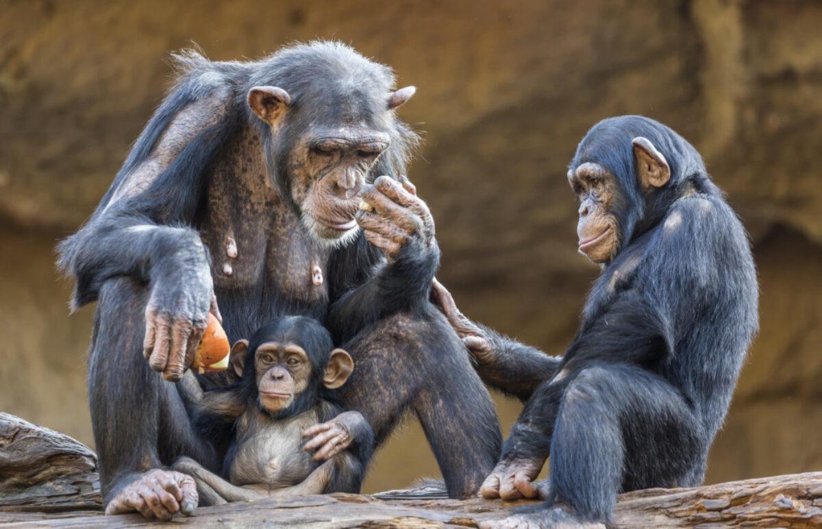 Uganda_Chimpanzee3