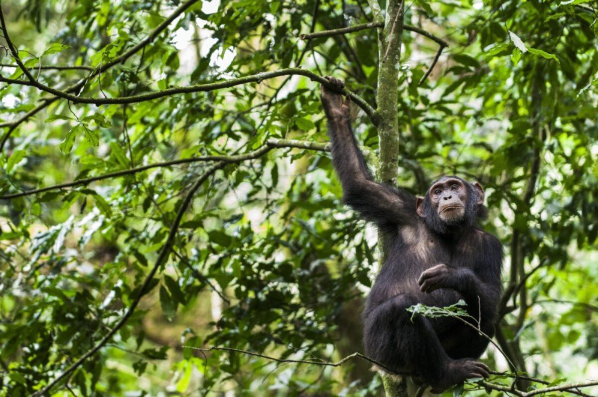 Uganda_Chimpanzee4