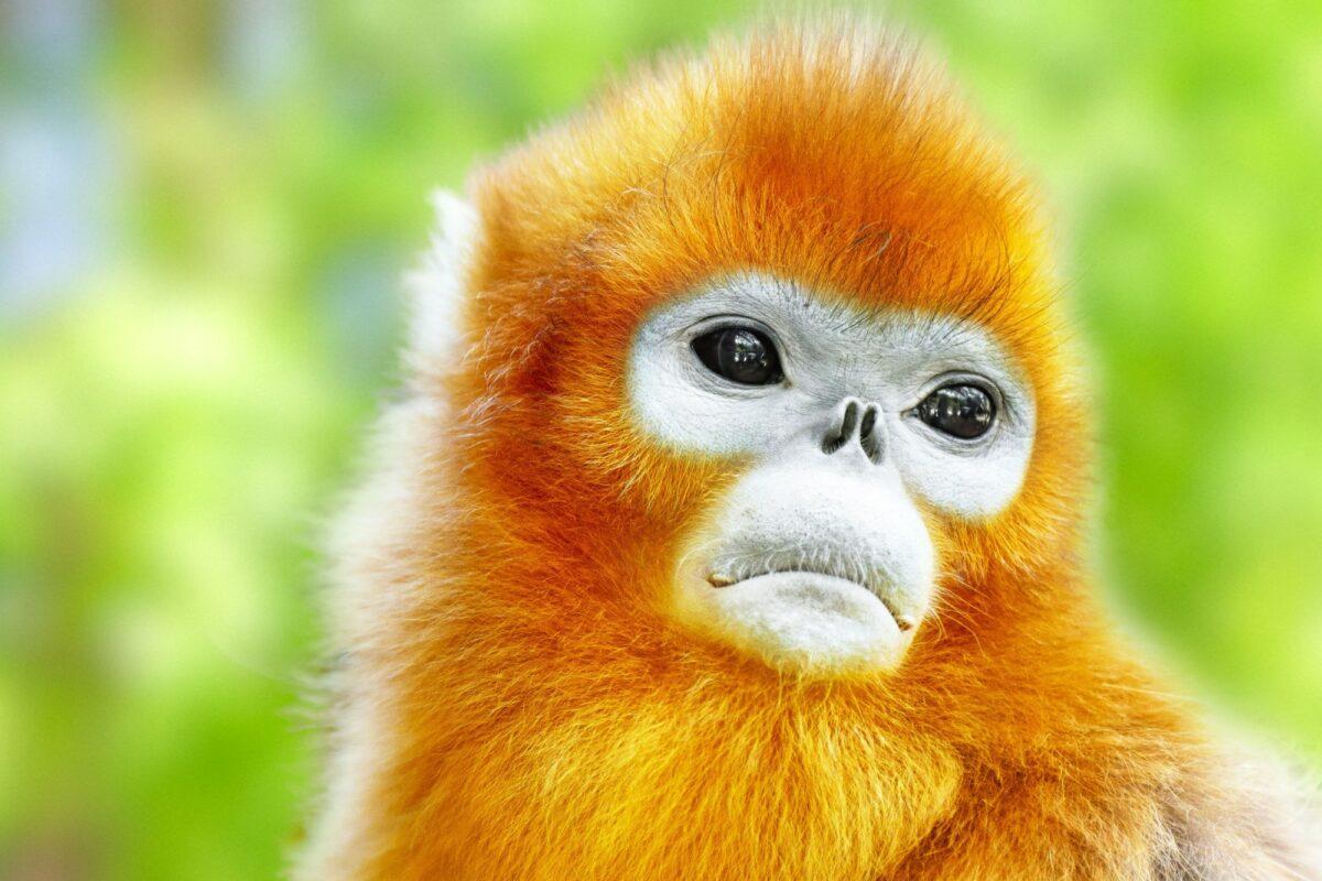 Uganda Karamoja Cute golden Snub Nosed Monkey
