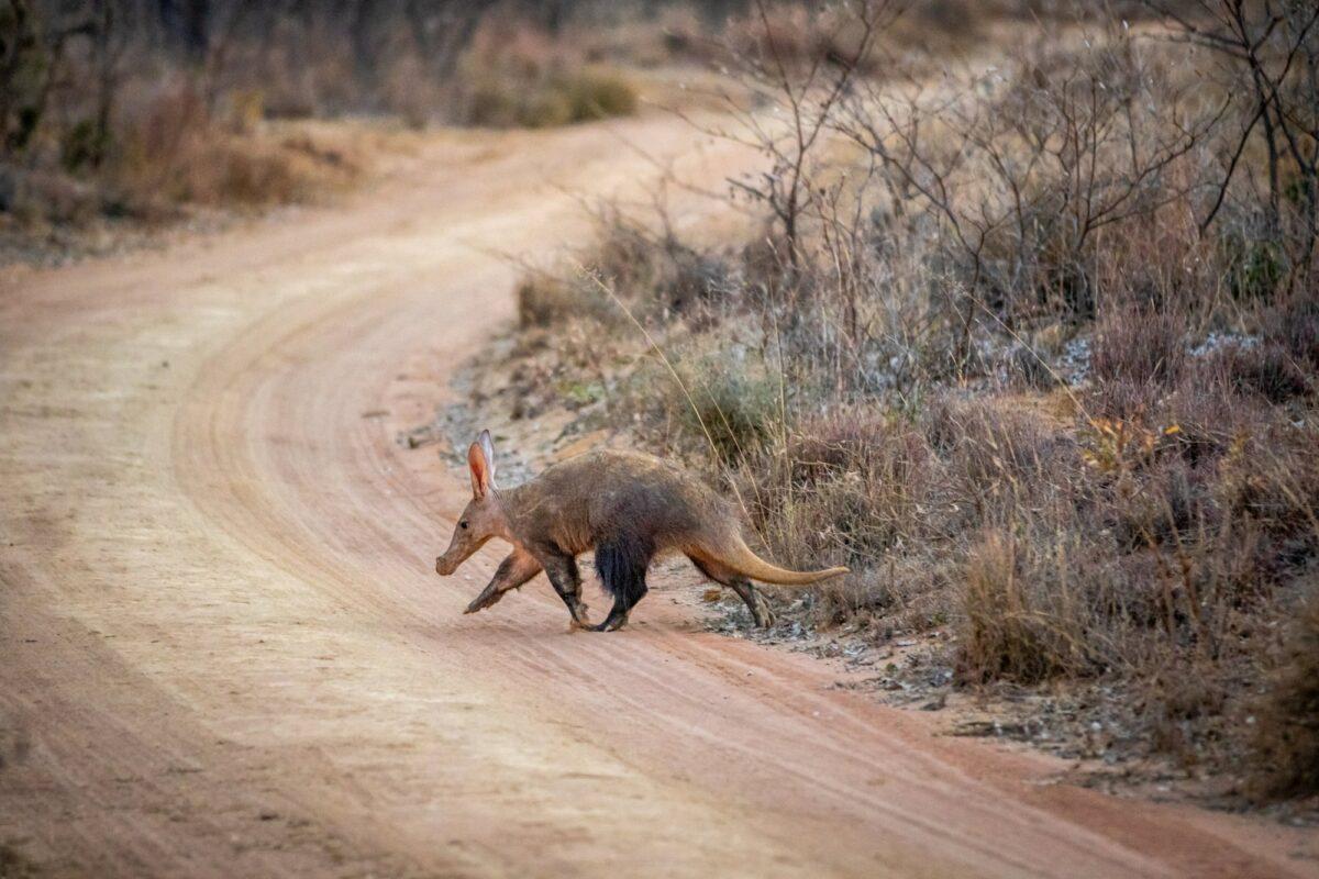 Welgevonden game reserve South Africa aardvark