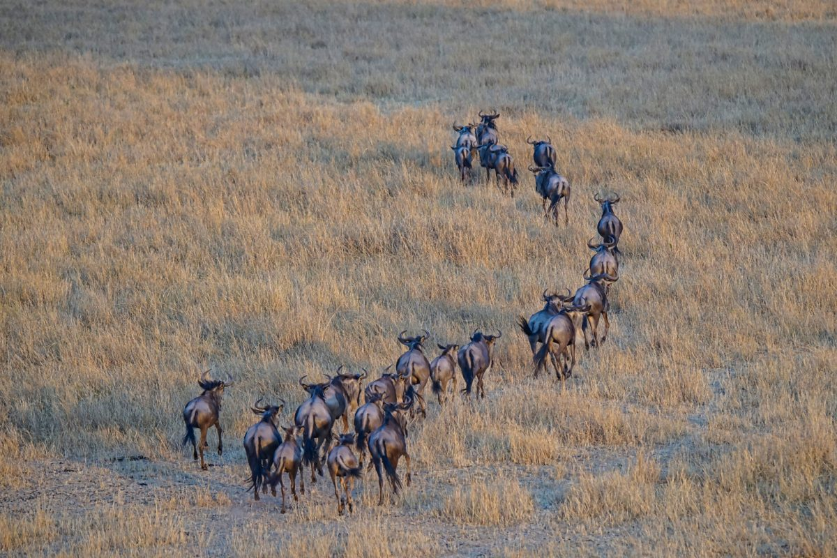 Wildebeest Connochaetes taurinus ran on the grass Large numbers of animals migrate to the Masai Mara National Wildlife Refuge in Kenya