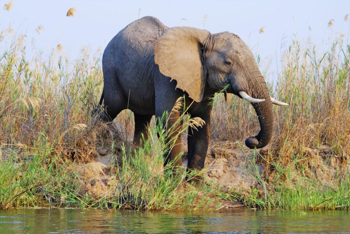 Zambia Lower Zambezi elephant