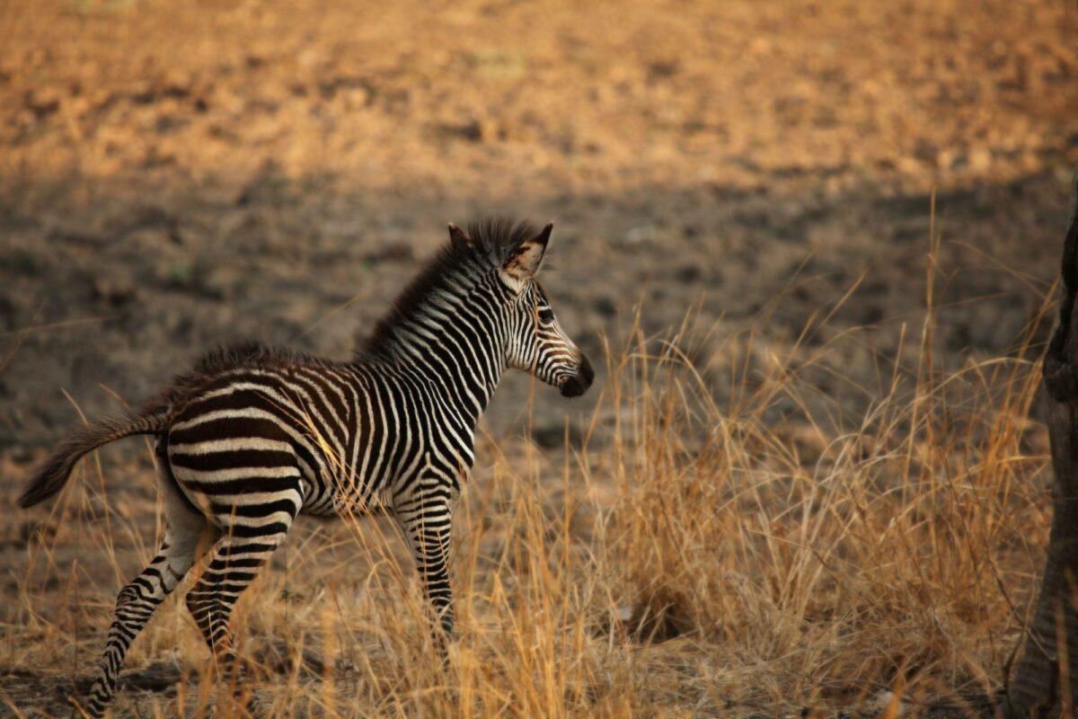 Zambia South Luangwa A young cute Plains Zebra Equus quagga in a grassland