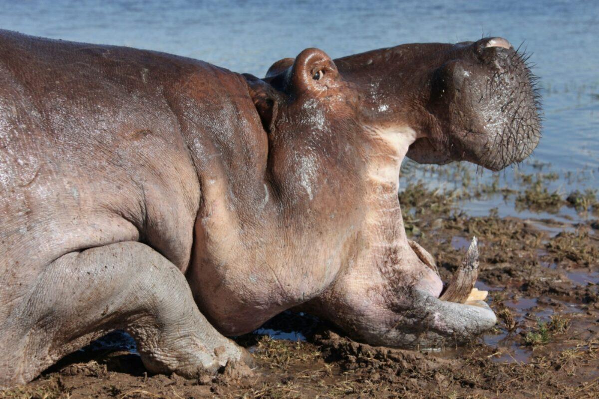 Zambia Zambezi hippo