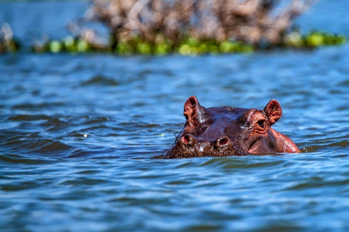 Zambia hippo2