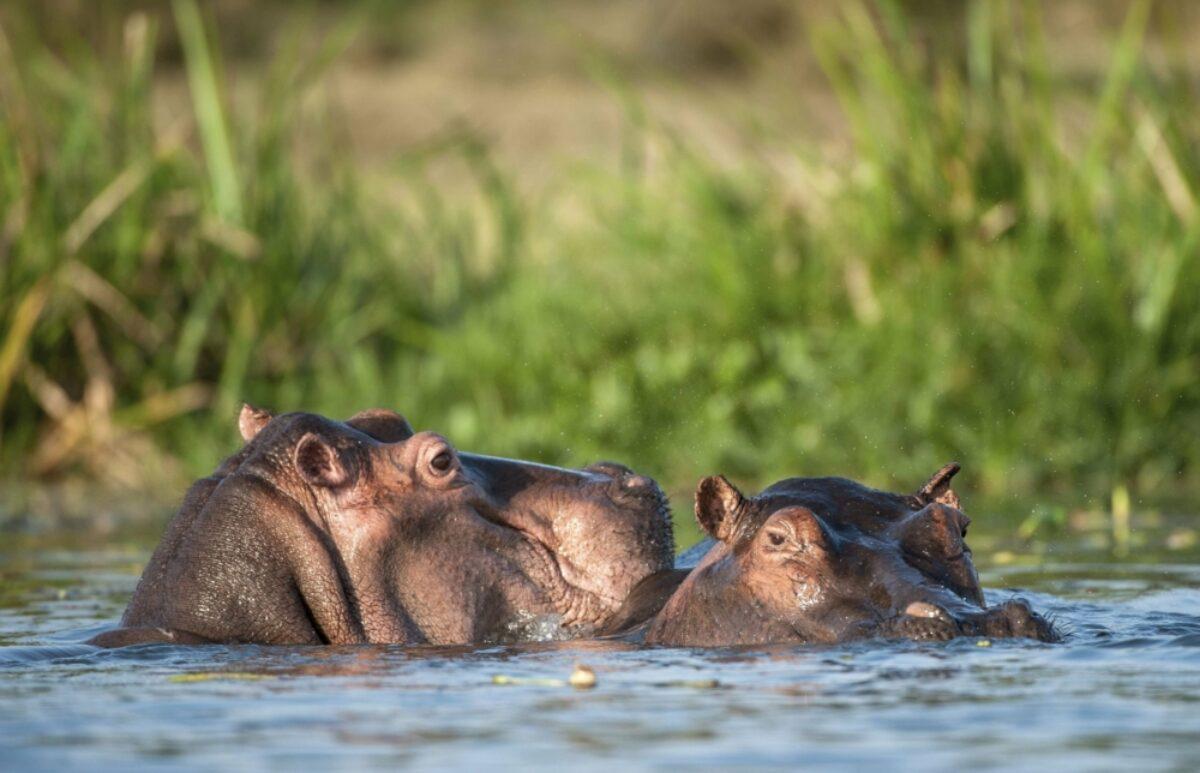 Zambia hippos