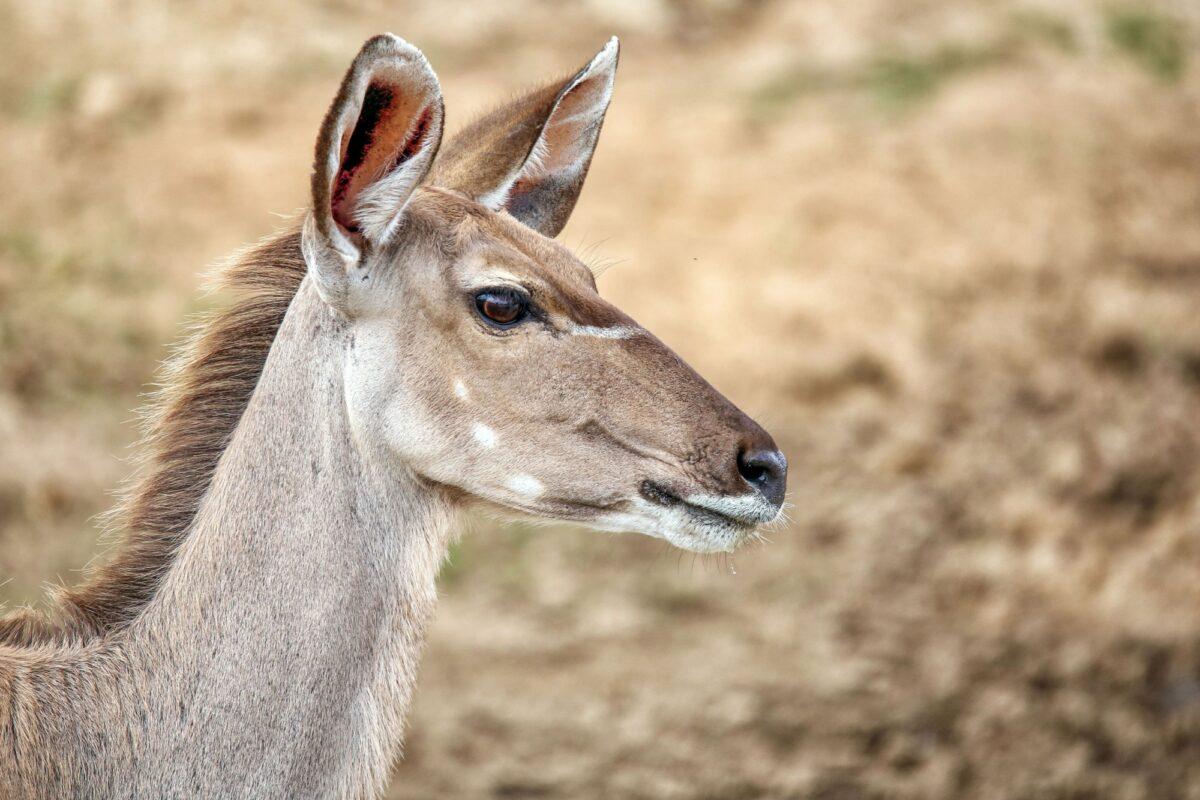 Zambia kudu