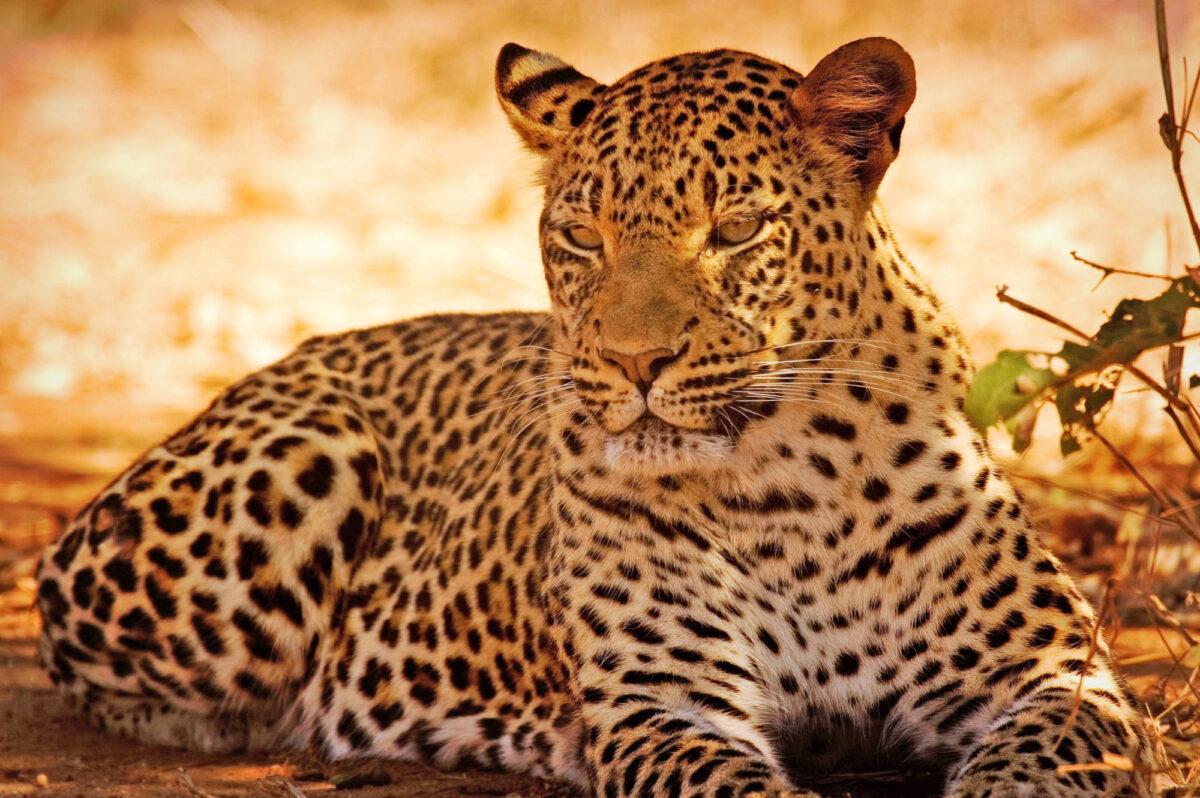 Zambia leopard