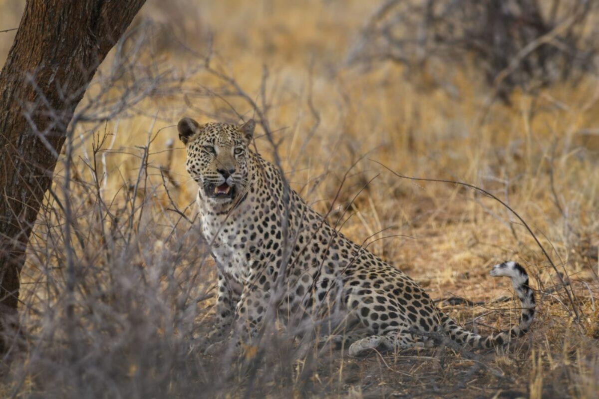 Zambia leopard3