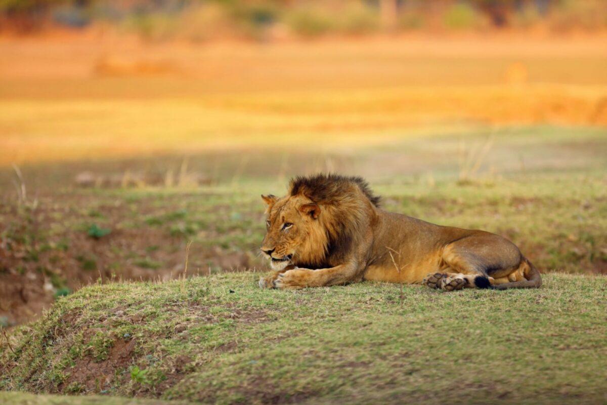 Zambia lion savannah