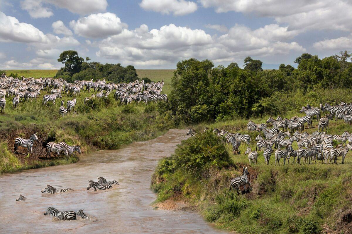 Zebras crossing the river in Mara River in Maasai Mara Kenya